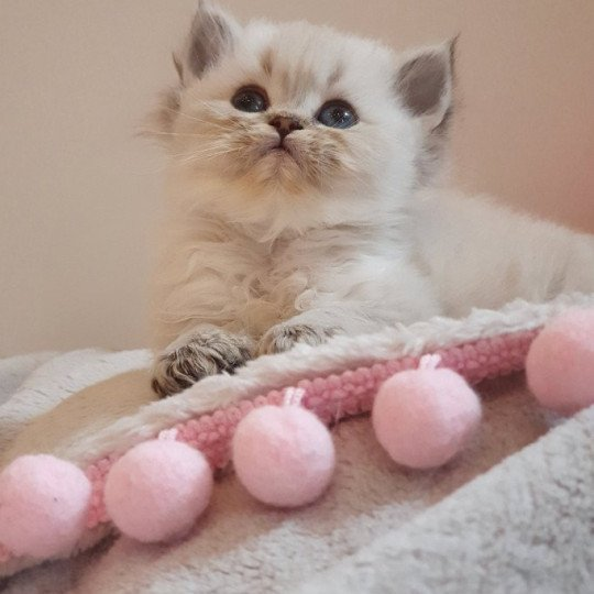 Cupcake From Paris Royal  Mâle  d'apparence British Longhair
