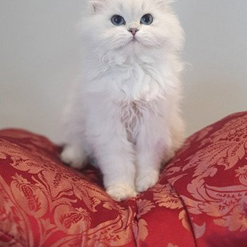 British Longhair silver shaded