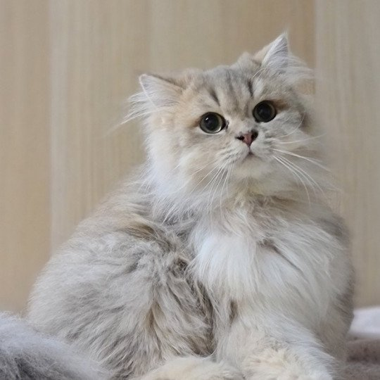 Muffin From Paris Royal  Mâle  British Longhair